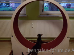 Katzenlaufrad für meine zwei Bengalmädchen