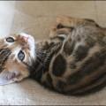 Bengalbaby 6 Wochen alt